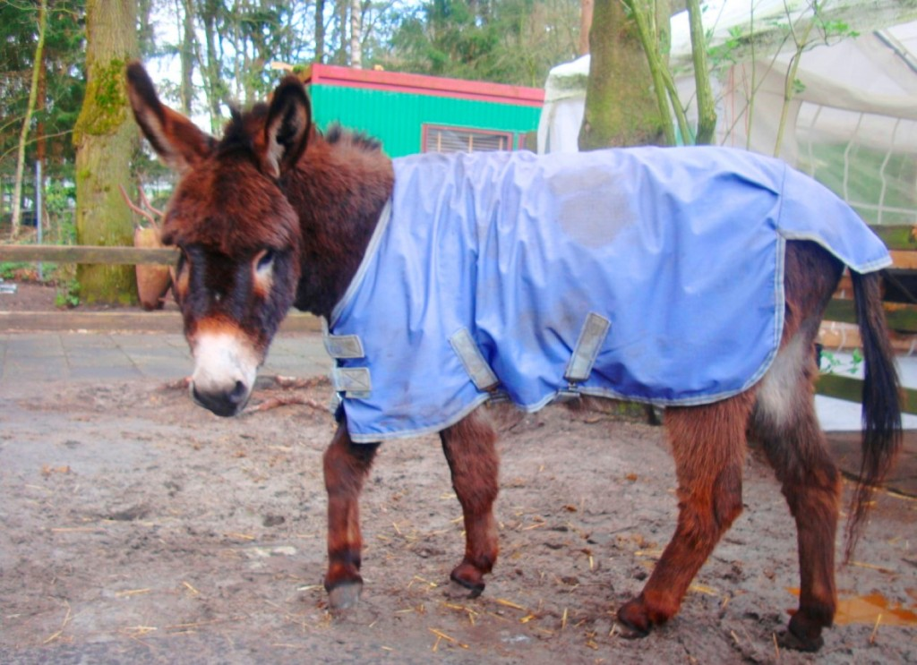 Donkeys At Stichting De Ezelsociëteit Have To Wear Raincoats In Inclimate Weather