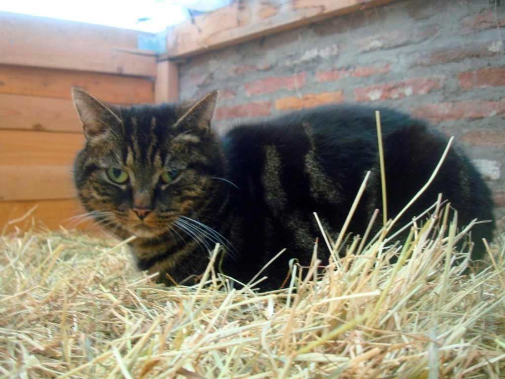 A Barn Cat Prepares To Swing Into Motion If A Rat Appears At Stichting De Ezelsociëteit
